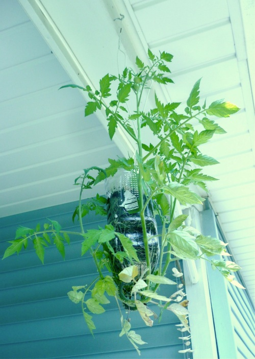 tomato plant, swinging in the air