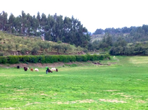 Alpacas grazing in Saqsayhuaman